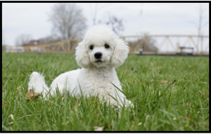 Poodle sitting on grass