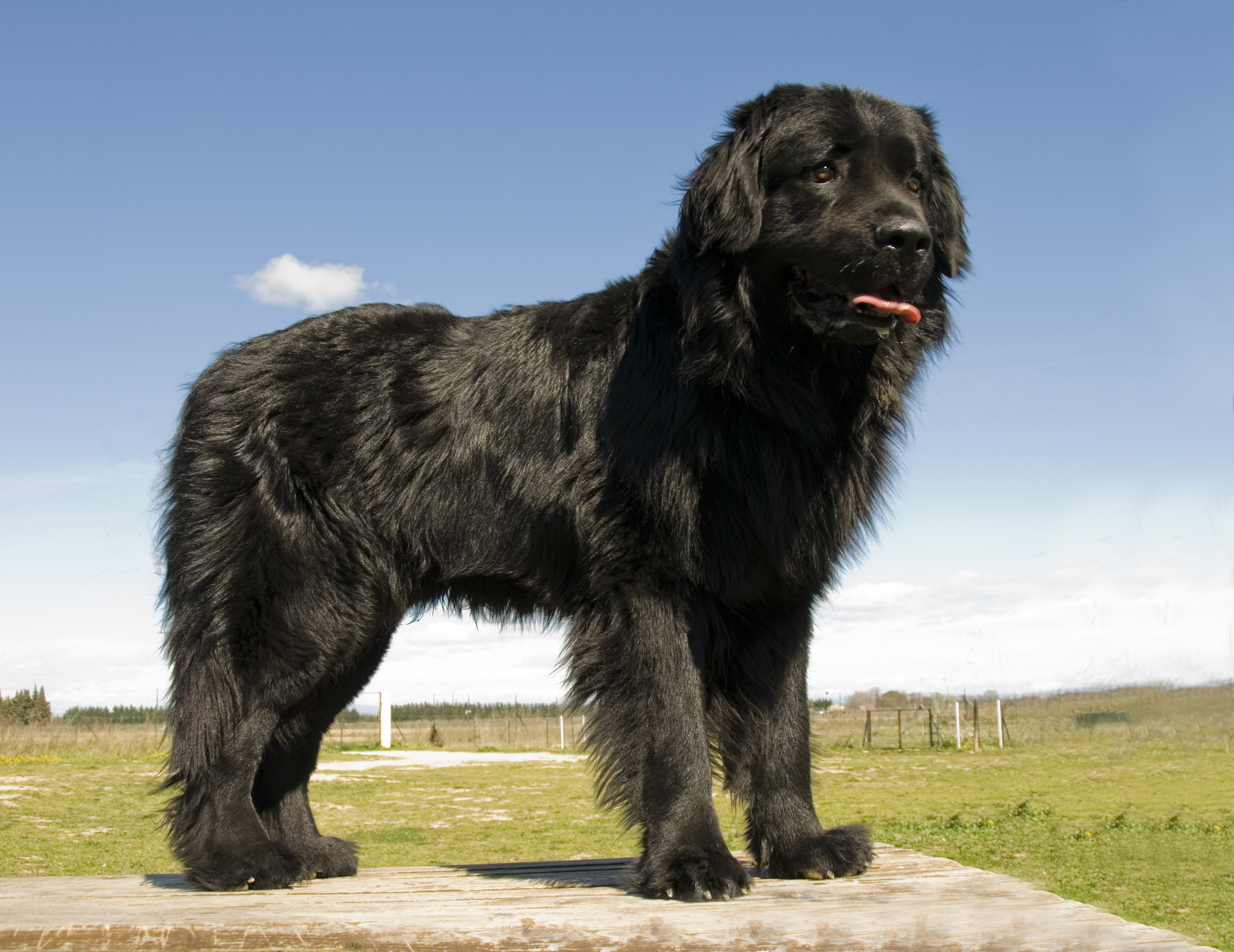 Newfoundland Grooming Guide