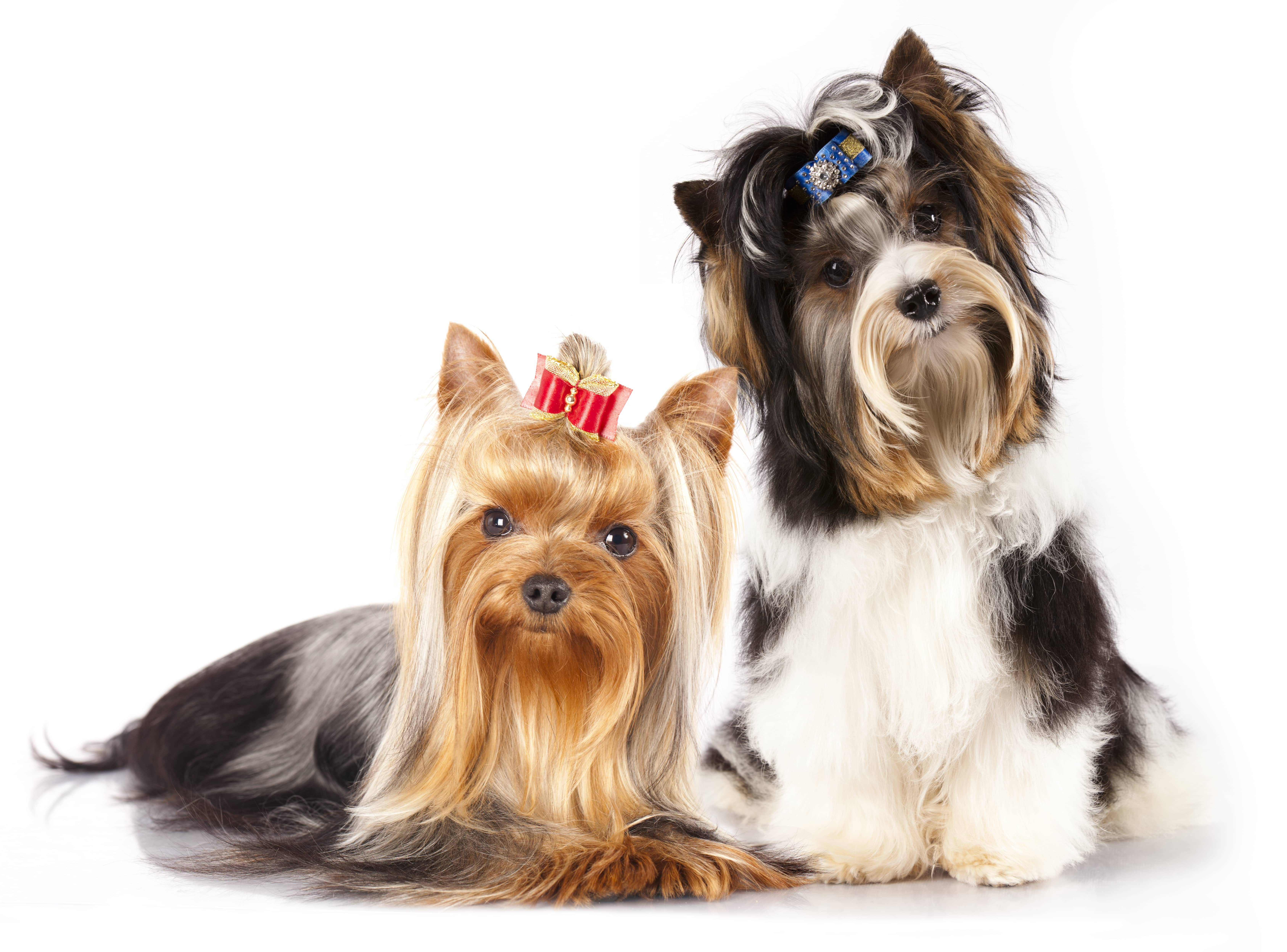 Yorkshire Terrier Guide