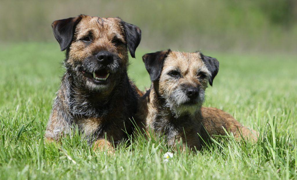 Beautiful border terriers relaxing in the sun