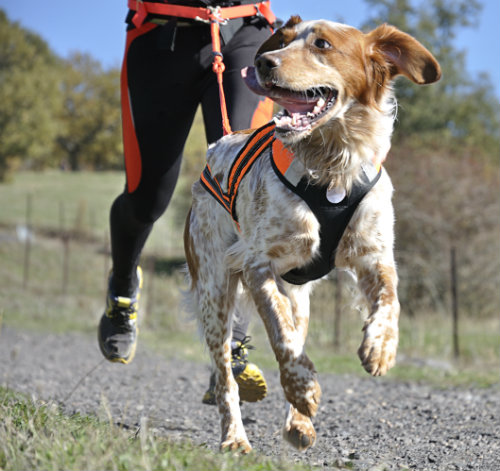 dog running in harness