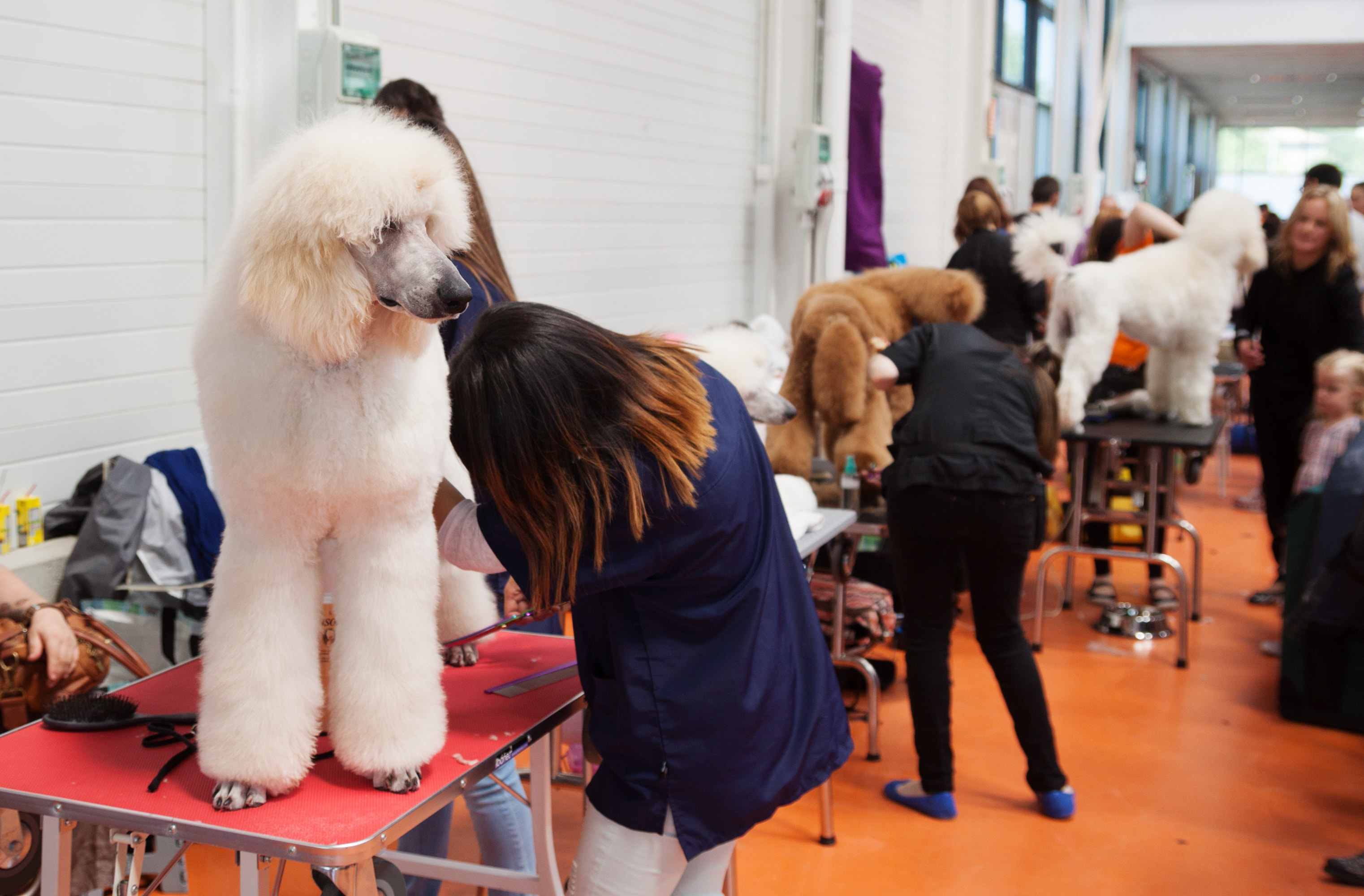 Poodle Grooming Guide