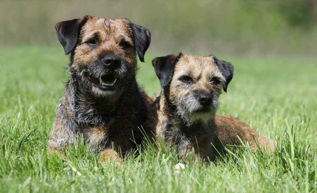 Beautiful border terriers relaxing in the sun
