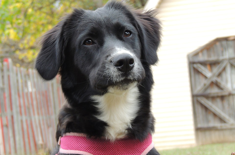 Dog grooming harness the best reviewed diy dog grooming help dog harness on border collie solutioingenieria Choice Image